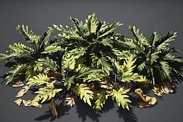 C4素材网-仙羽蔓绿绒植物模型
