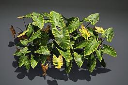 C4素材网-芋植物模型