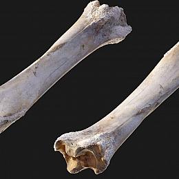 C4素材网-骨头模型